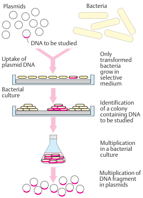 Multiplication of a DNA segment in transformed bacteria