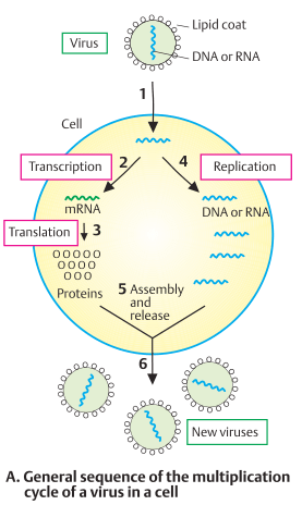 General sequence of the replication cycle of a virus in a cell