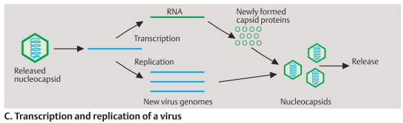 Transcription and replication of a virus