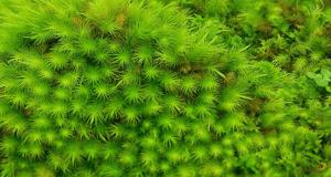 Bryophytes