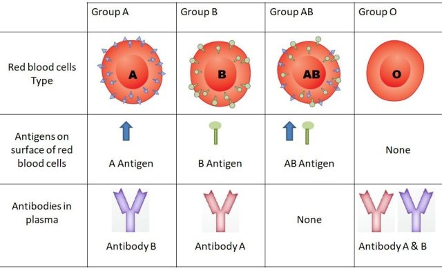 Finding out your blood group is comparatively simple. You can:  have a test done by your doctor get the knowledge when donating blood take an at-home blood test How does one determine what blood group you are? Your blood group is comprised of two blood groups: ABO and Rh.  Blood types are supported antigens on the surface of your red blood cells. An antigen may be a substance that triggers an immune reaction by your body against that substance.  ABO blood types group your blood by the existence of specific antigens:  Type A has the A antigen Type B has the B antigen Type AB has both the A and B antigen Type O doesn't have either the A or B antigen Once your ABO blood group has been determined, it are often further defined by identifying the Rhesus (Rh) factor:  Rh-positive. If you've got Rh antigens on the surface of your red blood cells, you've got Rh-positive blood. Rh-negative. If you don't have Rh antigens on the surface of your red blood cells, you've got Rh-negative blood type . By including the rhesus factor , the 8 most prevalent blood types are often identified: A+ or A-, B+ or B-, AB+ or AB-, and O+ or O-.  How is blood testing typically done? At your doctor's office, a clinical laboratory, or a hospital, a phlebotomist (someone trained to draw blood) will use a needle to draw blood from your arm or hand.  That blood are going to be mixed with antibodies and therefore the reaction are going to be noted. for instance , if your blood cells clump together (agglutinate) when mixed with antibodies against B blood, you've got A blood.  Next, your blood are going to be mixed with an anti-Rh serum. If your blood cells respond by clumping together, you've got Rh-positive blood.   How am i able to determine my blood group at home? In at-home diagnosis tests, they typically ask that you simply prick your finger with a lancet and put drops of your blood on a special card.  After putting the blood on the cardboard , you'll observe the areas where blood clumps or spreads out, then match those reactions to an included guide.  Some home testing kits have vials of fluid for your blood, as against a card.  Purchase an at-home diagnosis kit here.  How to determine your blood group for free of charge One way to seek out out your blood group is to donate blood.  If you donate to community blood supplies, ask the staff if they'll be ready to tell you your blood group . Many donation centers are ready to provide that information.  Typically you won't get your blood group immediately and should need to wait a couple of weeks, as blood isn't commonly tested directly .  Can blood group be determined without drawing blood? About 80 percent Trusted Sourceof people secrete blood type antigens in other bodily fluids, like saliva, mucus, and sweat. This group of individuals is mentioned as secretors.  Secretors can have their blood group determined by a saliva or other liquid body substance test.  Blood typing kits using saliva are available online, but are typically costlier . Using one among the kits, you'll first learn whether or not you're a secretor. If you're , then you'll be ready to determine you ABO blood group .   Takeaway There are variety of the way you'll determine your blood group , including:  visiting your doctor going to a hospital or clinical laboratory that tests blood donating blood getting a home testing kit If you're within the category of individuals who secrete blood type antigens in other bodily fluids, you'll determine your blood group without having blood drawn.