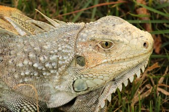 """This sexy creature was near the fort at the top of the hill in Viejo San Juan. She was about three feet long, from the tip of her nose to the tip of her tail. Very photogenic. Throughout the islands, the indigenous people (aka """"natives"""") consume iguana, generally in a stew. I'm told it tastes like chicken..."""
