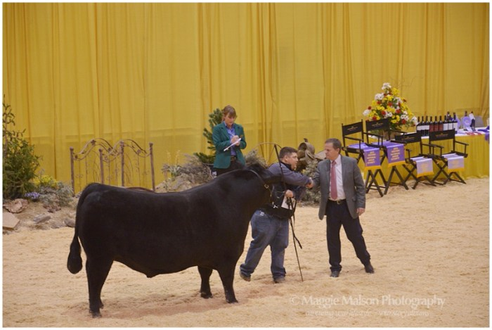 showing Angus cattle