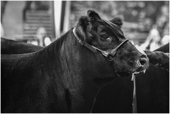 2017,Angus,NWSS,showing cattle,