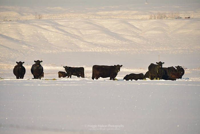 Angus cows in snow