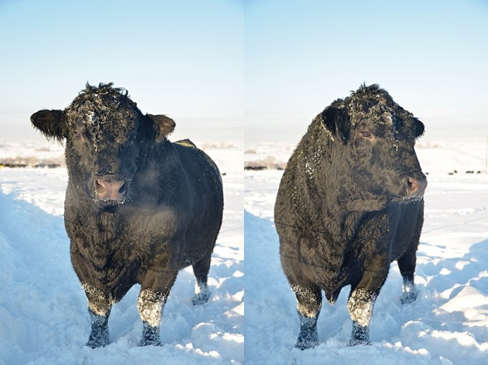 Angus bull in winter