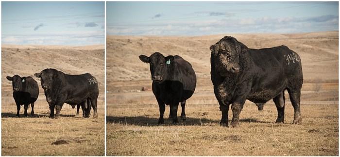Angus bull and cow