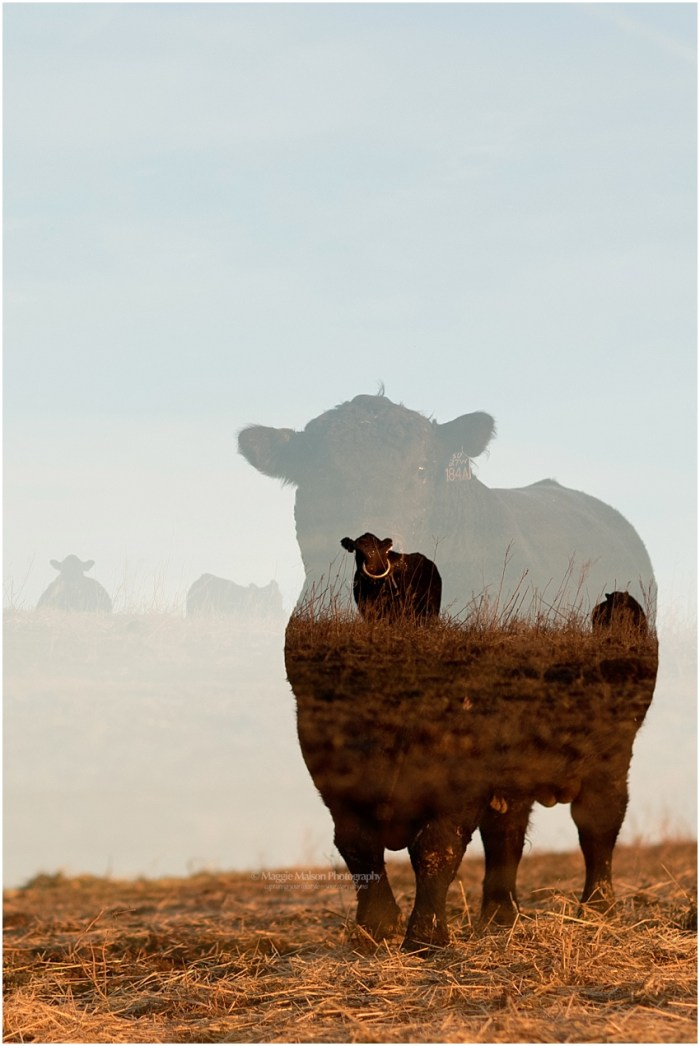 2018,Angus,Idaho,cattle,double exposure,