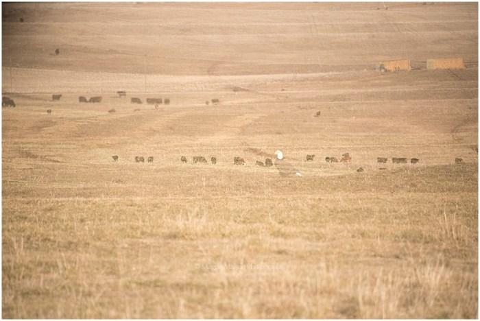 2018,Angus,Idaho,cattle,double exposure,