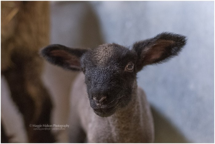 2018,buck,ewe,lamb,lambing,sheep,wether,