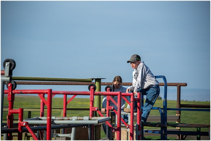 kids working cattle