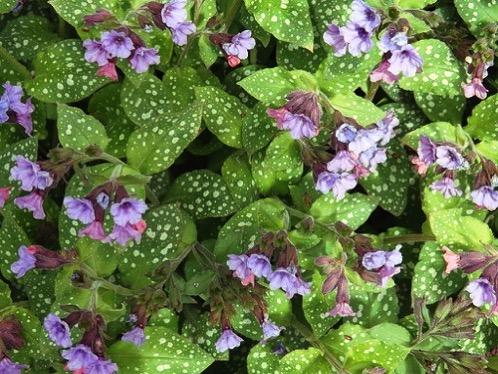 DSCF0599 lungwort in bloom