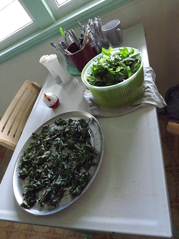celery leaves in salad spinner and dried on pizza pan
