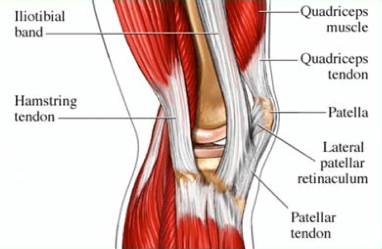 full human leg tendons diagram liver pancreas gallbladder fascia bones and muscles  beinghuman