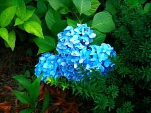 紫陽花化と思われる花。