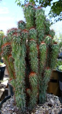 Curiosity Cactus-Cereus peruvianus f. monstrosa