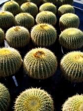 Echinocactus grusonii (Golden Barrel)