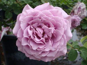 Silver Star Rose