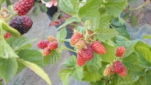BlackSatinBlackberries2013