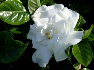 Gardenia vetchii