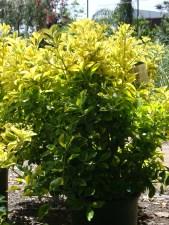 Golden Euonymous japonicus 'Aureo-Marginatus'