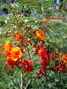 Mexican Bird of Paradise-red