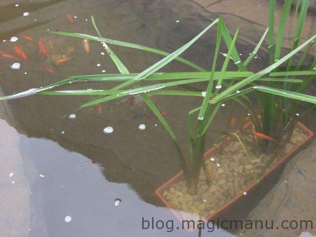 Bassin de jardin – plantations
