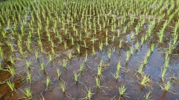 Rice plants stage 1