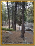 A Ponderosa Pine, off dancing by itself.