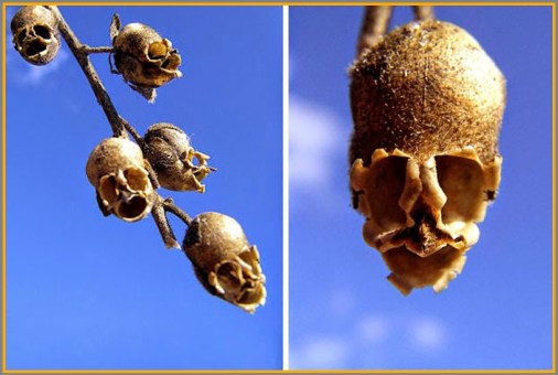 With Halloween approaching, we'll start it off with these snapdragon seeds, which look eerily like human skulls.