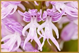 These are known as 'naked men' orchids.