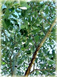 Λεύκα (Populus)
