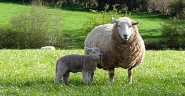 Pecore nella campagna inglese