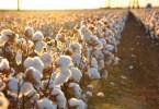Foto di un campo di cotone CC di Kimberly Vardeman