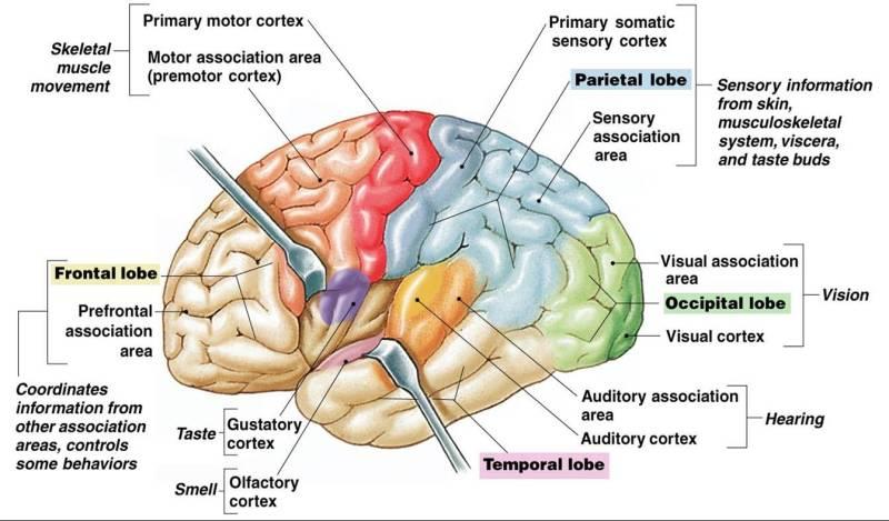 المخ أو الدماغ