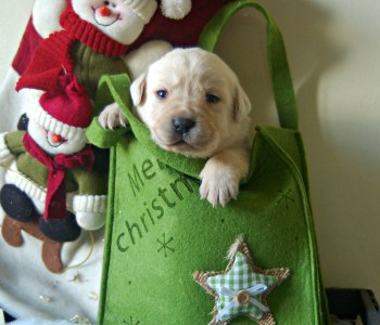 Christmas yellow labrador puppy in box