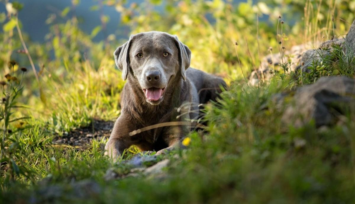"""Il """"Labrador Silver"""", ma... esiste davvero?"""