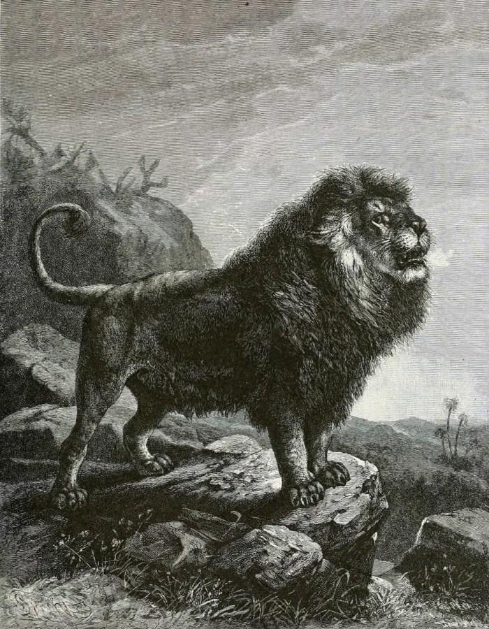 """León de Berbería o león del Atlas o de Nubia fue muycomocido en los circos romanos y él dio al león el título de """"rey de la selva"""" ya que esta especie vivía entre bosques de pinos y no en la sabana.  Con una longitud aproximada de 3.40 m., una altura de 1.55 m. y un peso cercano a los 300 kg., esto lo convierte en uno de los mayores felinos que haya existido."""