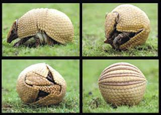 """Tolypeutes tricinctus es una especie de armadillo endémica de Brasil. Es una de sólo dos especies de armadillo (el otro es Tolypeutes matacus) que puede arrollarse en una bola. La población ha sufrido un descenso rápido de 30% en los últimos 10 años y actualmente su estado de conservación es considerado """"vulnerable""""."""