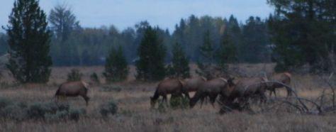 Cow Elk Grazing