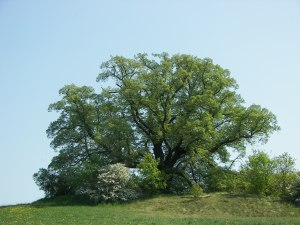 Large-leaved Linden Tree. Photo by Willow.