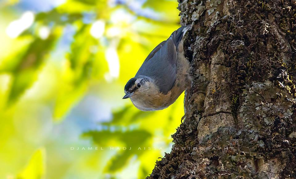 New breeding site of the endemic Algerian Nuthatch discovered last spring