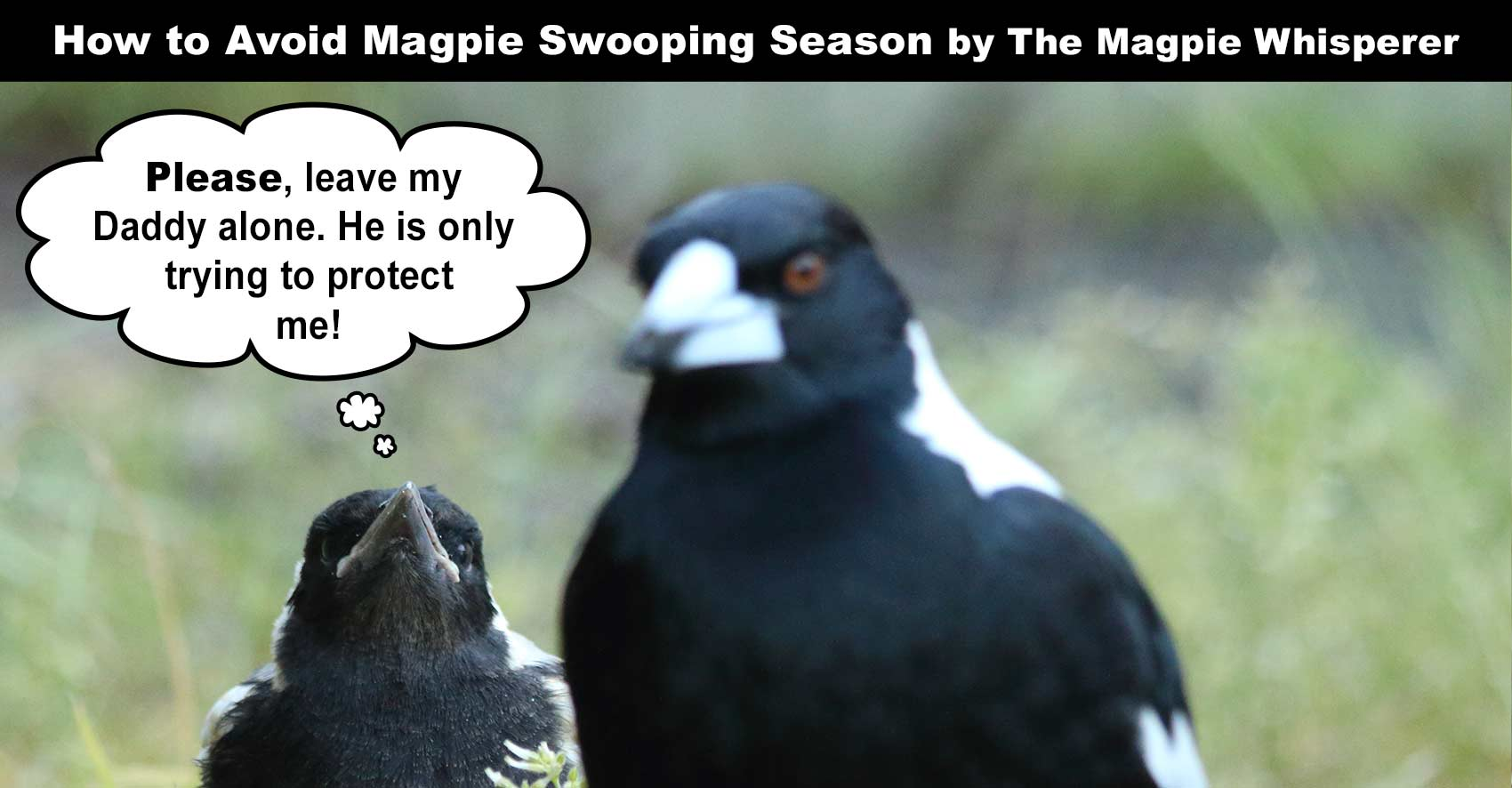Magpie Swooping Season Is Officially Back In Full Force ... |Australia Swooping Birds Sign