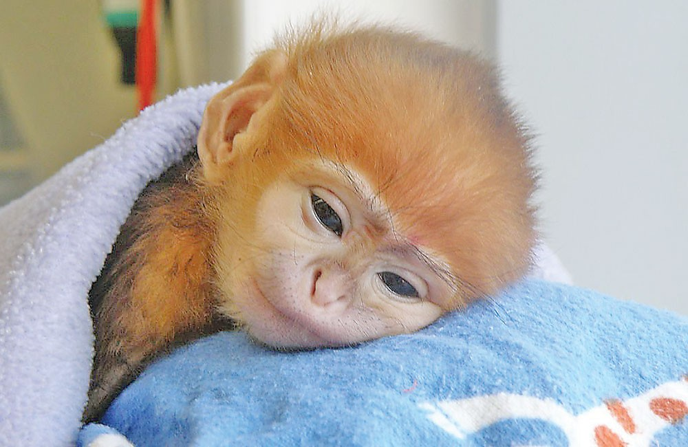 Baby monkey nods off after coffee intake  Mag Files  MAG THE WEEKLY