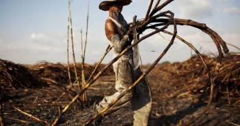 Sugarcane, Muhoroni, ODM, Gabriel Oguda, Prof, Ayieko Olweny, James Onyango Koyoo, Elections, Huffington Post, Guatemala, Sugarcane Harvesting