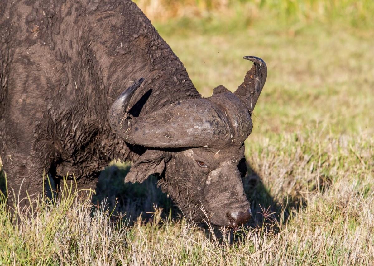 The Buffalo, Lewa Conservancy
