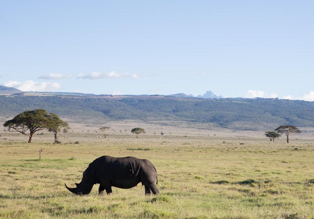 Rhino, Lewa Conservancy
