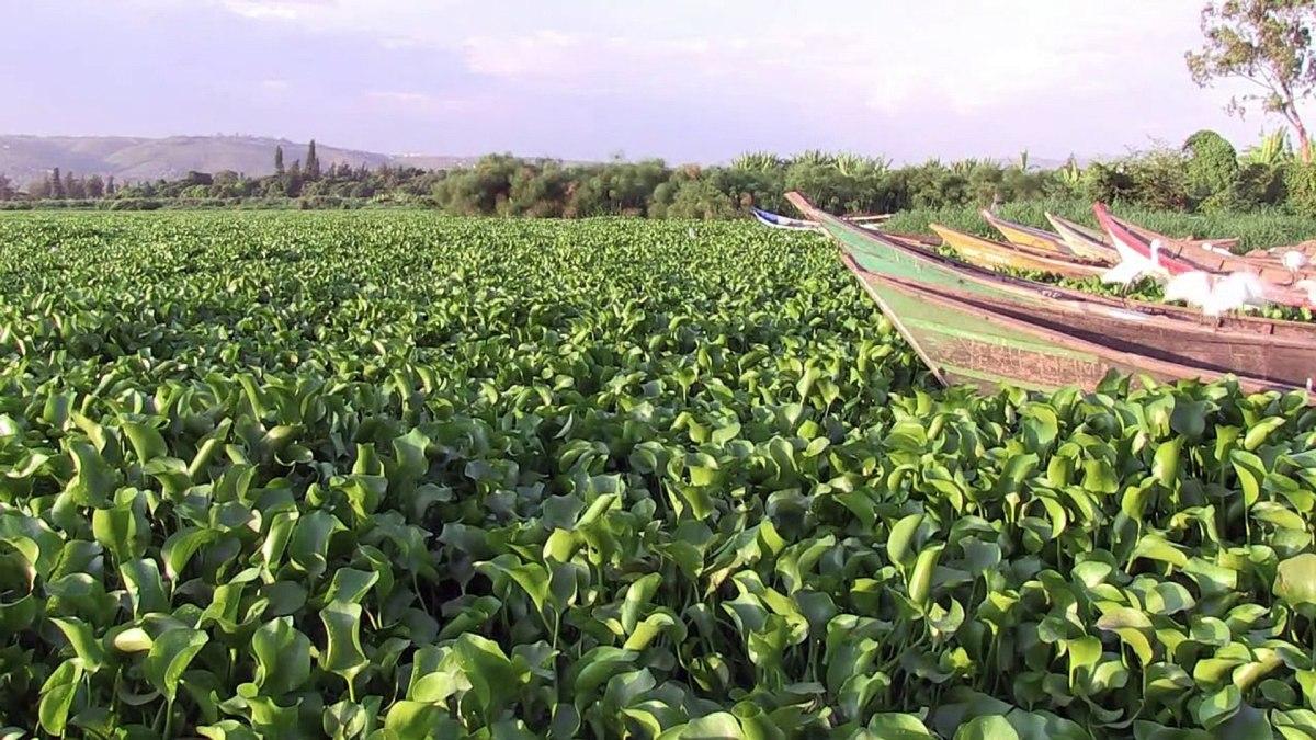 Lake Victoria Hyacinth