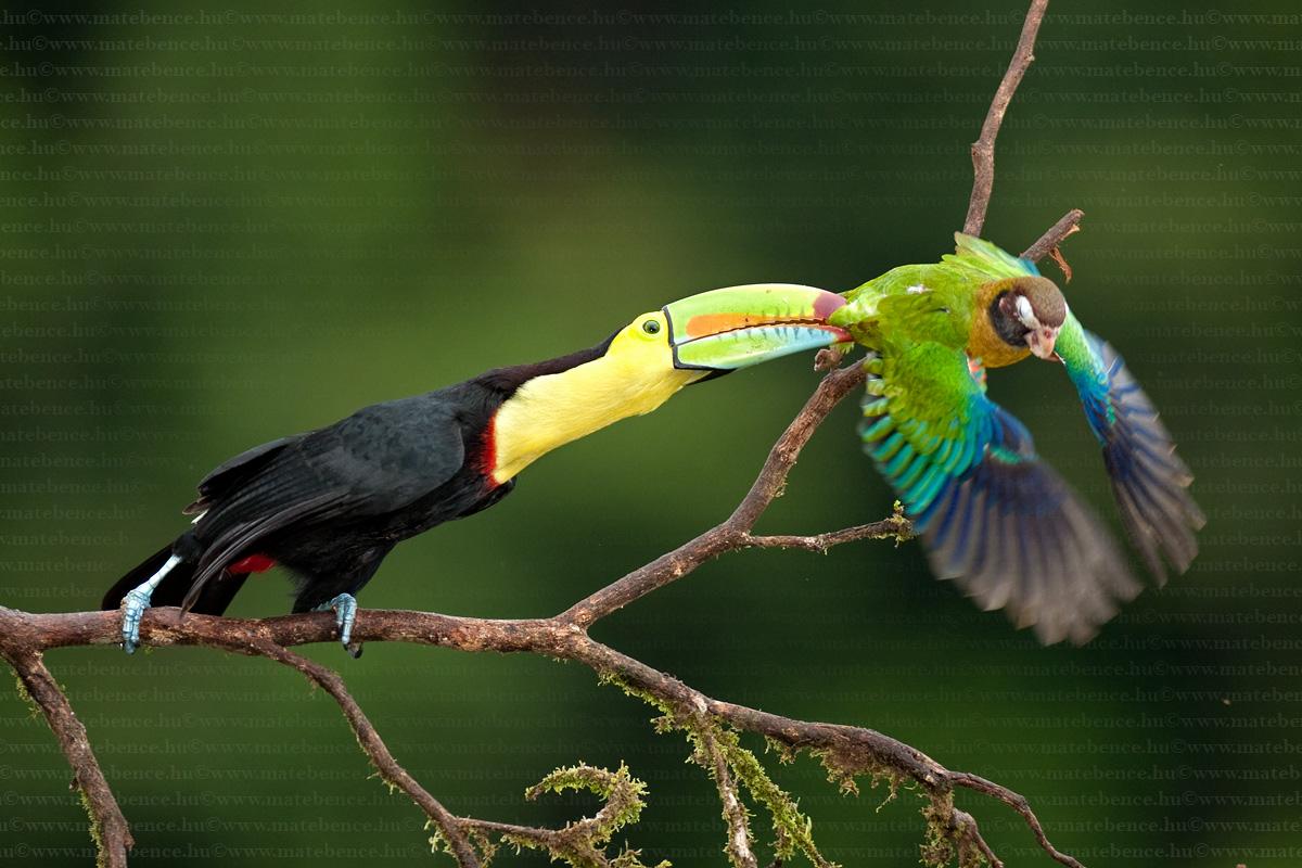 https://i0.wp.com/www.magyarvagyok.hu/media/c_img2/1/4/mate-bence-hidephotography-com-ramphastos-sulfuratus-pyrilia-haematotis-keel-billed-toucan-brown-hooded-parrot-elescsoru-tukan-vorosfulu-papagaj1-66411-7396.jpg