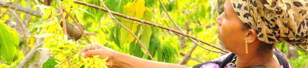 voyage la découverte des sens à madagascar avec aromathérapie distillation plantes médicinales